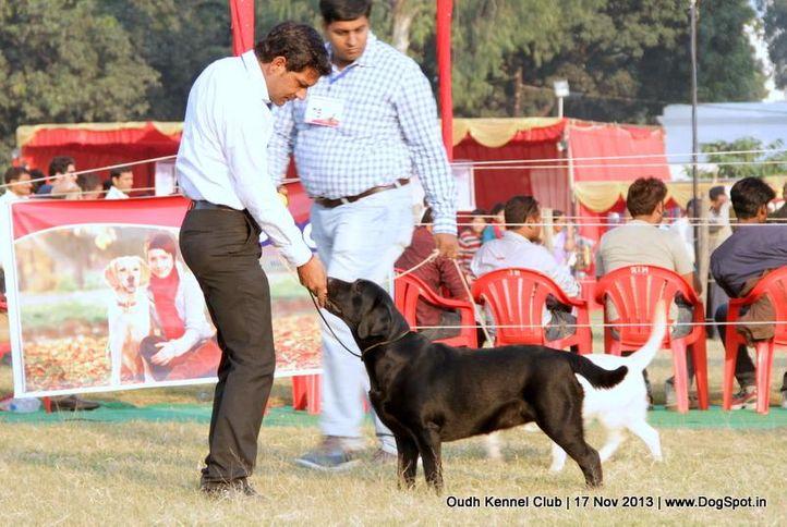 labrador retriever,sw-101,, Lucknow Dog Show 2013, DogSpot.in