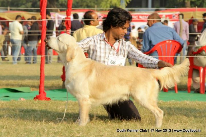ex-68,golden retriever,sw-101,, Lucknow Dog Show 2013, DogSpot.in