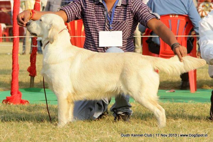 ex-67,golden retriever,sw-101,, Lucknow Dog Show 2013, DogSpot.in