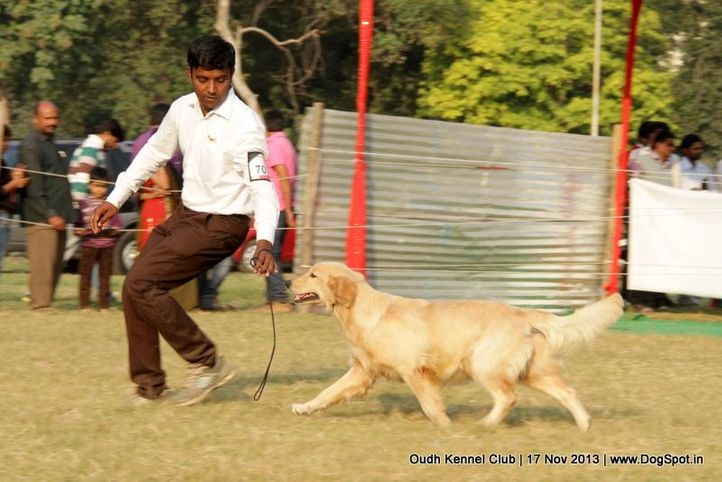 ex-70,golden retriever,sw-101,, Lucknow Dog Show 2013, DogSpot.in