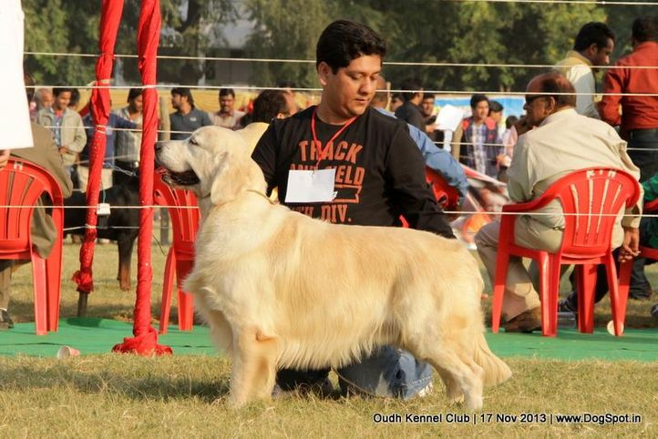 ex-66,golden retriever,sw-101,, Lucknow Dog Show 2013, DogSpot.in