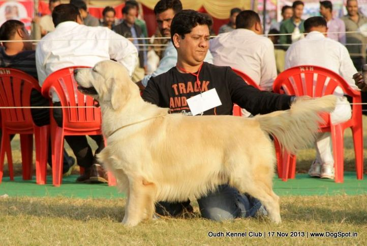 ex-66,golden retriever,sw-101,, Lucknow Dog Show 2013, DogSpot.in