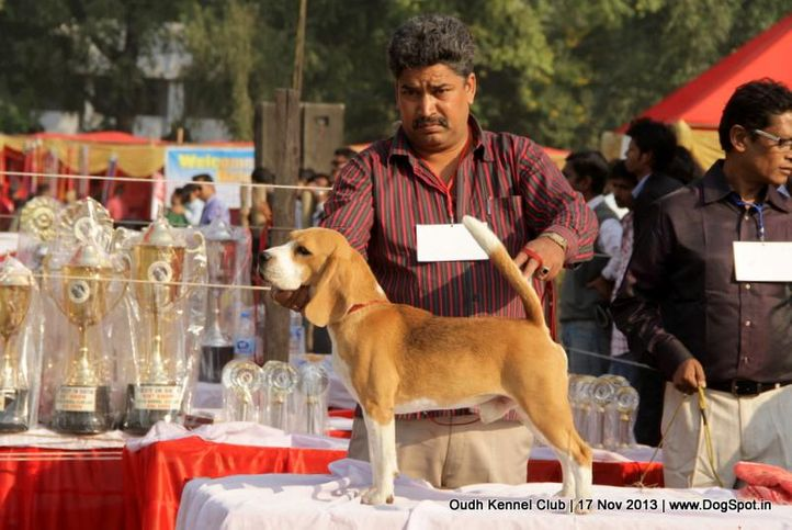 beagle,ex-42,sw-101,, Lucknow Dog Show 2013, DogSpot.in