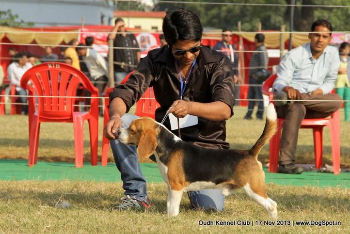 beagle,ex-38,sw-101,, Lucknow Dog Show 2013, DogSpot.in