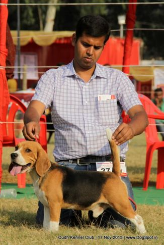 beagle,ex-27,sw-101,, Lucknow Dog Show 2013, DogSpot.in