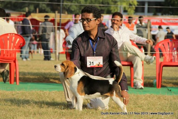 beagle,ex-31,sw-101,, Lucknow Dog Show 2013, DogSpot.in