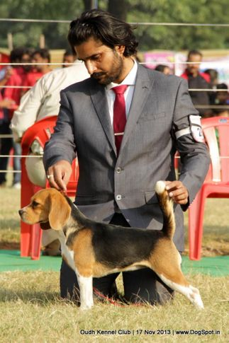 beagle,ex-28,sw-101,, Lucknow Dog Show 2013, DogSpot.in