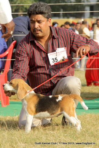 beagle,ex-35,sw-101,, Lucknow Dog Show 2013, DogSpot.in