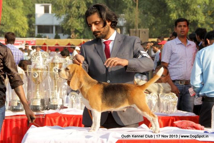 beagle,ex-29,sw-101,, Lucknow Dog Show 2013, DogSpot.in