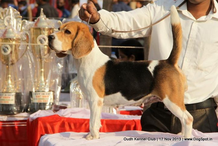 beagle,sw-101,, Lucknow Dog Show 2013, DogSpot.in