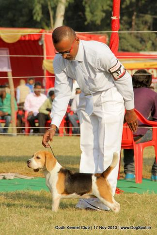 beagle,ex-37,sw-101,, Lucknow Dog Show 2013, DogSpot.in