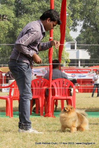ex-6,pomeranian,sw-101,, Lucknow Dog Show 2013, DogSpot.in