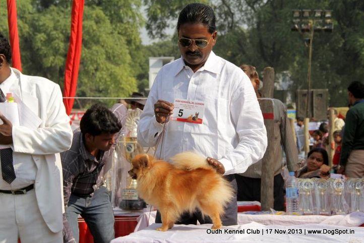 ex-5,pomeranian,sw-101,, Lucknow Dog Show 2013, DogSpot.in