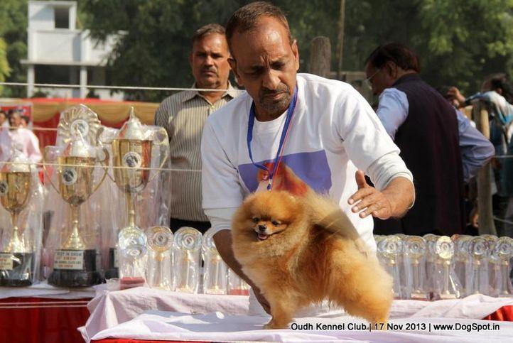pomeranian,sw-101,, Lucknow Dog Show 2013, DogSpot.in