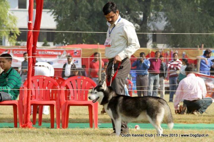ex-195,siberian husky,sw-101,, Lucknow Dog Show 2013, DogSpot.in
