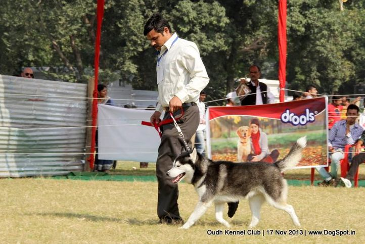 ex-195,siberian husky,sw-101,, Lucknow Dog Show 2013, DogSpot.in