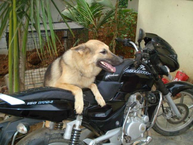 Germanshepard,GSD,GSD Puppy, Lucky, DogSpot.in