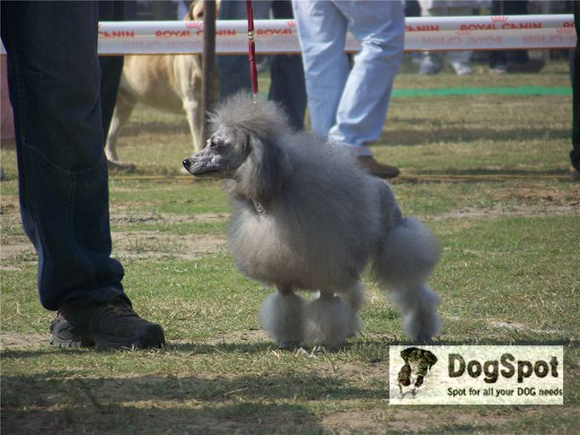 poodle,, Ludhiana Dog Show 2008, DogSpot.in