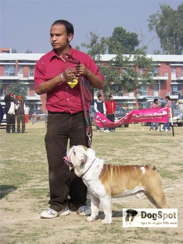 bulldog,, Ludhiana Dog Show 2008, DogSpot.in