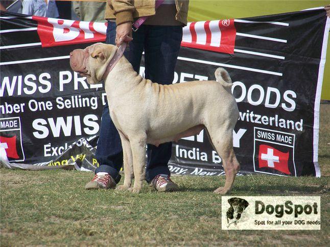 sharpei,, Ludhiana Dog Show 2008, DogSpot.in