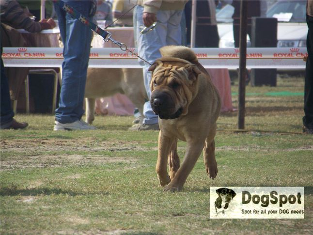 sharpei,, Ludhiana Dog Show 2008, DogSpot.in