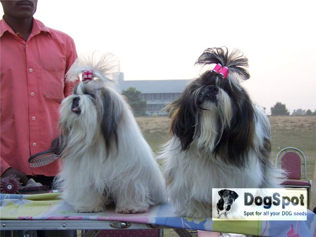 shihtzu,, Ludhiana Dog Show 2008, DogSpot.in