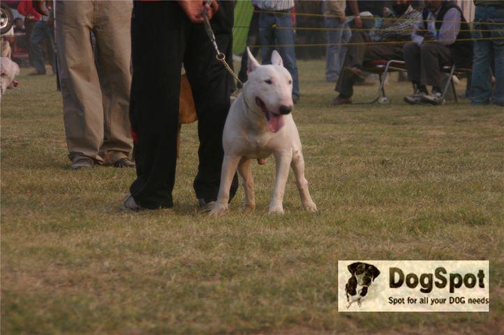 bullterrier,, Ludhiana Dog Show 2008, DogSpot.in