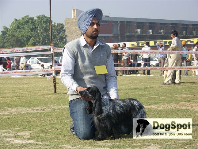 cocker,, Ludhiana Dog Show 2008, DogSpot.in
