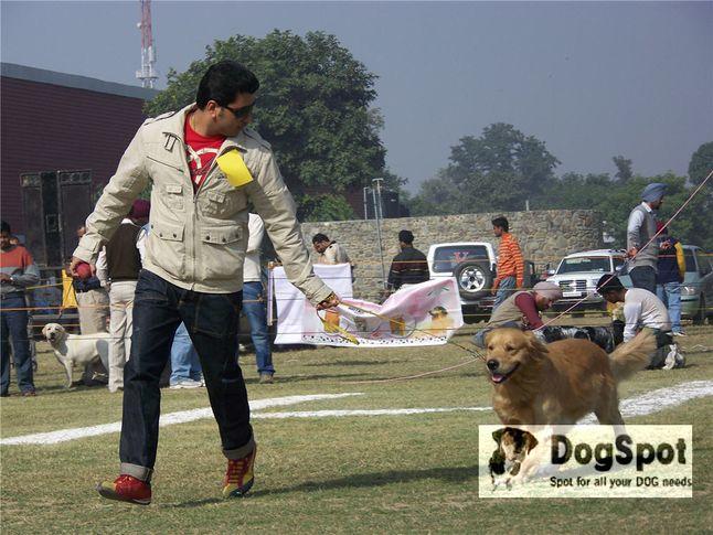 goldenretriever,, Ludhiana Dog Show 2008, DogSpot.in