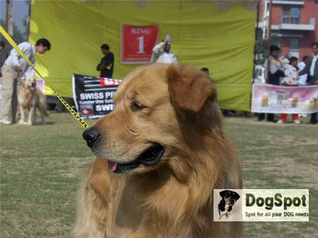 goldenretriever,, Ludhiana Dog Show 2008, DogSpot.in