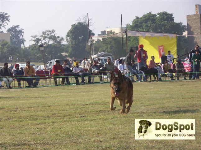 gsd,alsatian,, Ludhiana Dog Show 2008, DogSpot.in