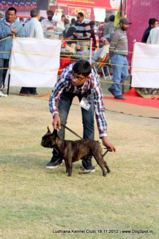 ex-79,french bull dog,sw-66,, KUNWAR'S SWEETY, French Bull Dog, DogSpot.in