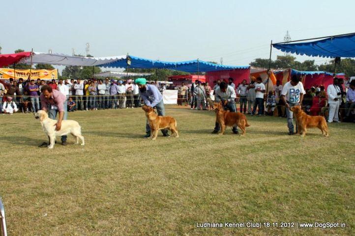golden retriever,line up,sw-66,, Ludhiana Dog Show 2012, DogSpot.in