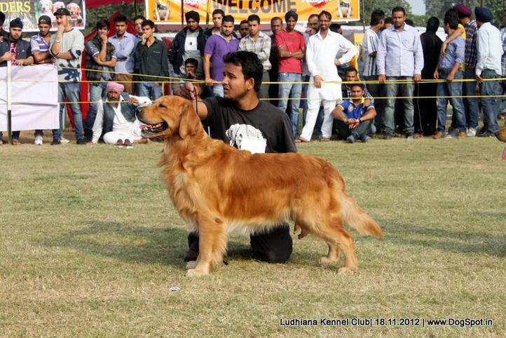 golden retriever,sw-66,, Ludhiana Dog Show 2012, DogSpot.in