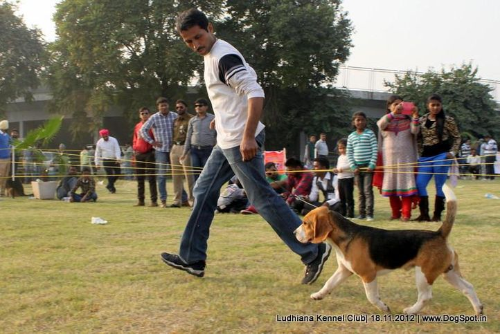 beagle,sw-66,, Ludhiana Dog Show 2012, DogSpot.in