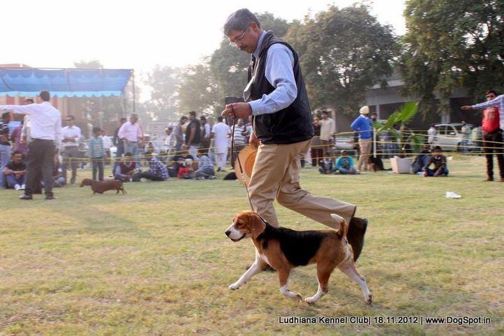 beagle,ex-98,sw-66,, SUPER GIRL OF RUBSON, Beagle, DogSpot.in