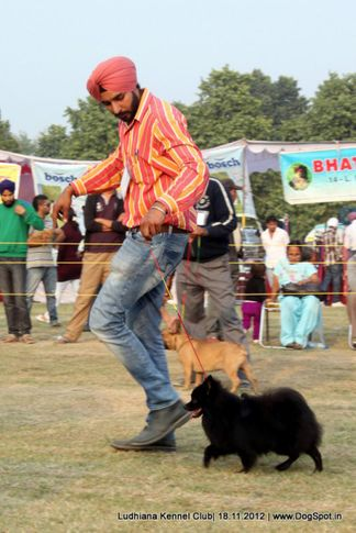 ex-81,indian spitz,sw-66,, SANTO, Greater Indian Spitz, DogSpot.in
