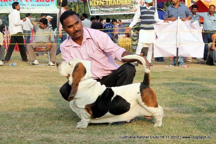 basset hound,sw-66,, Ludhiana Dog Show 2012, DogSpot.in