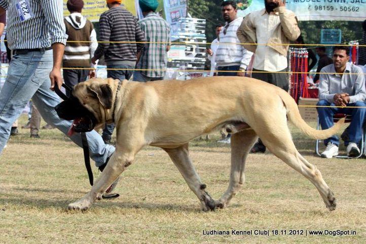 ex-223,mastiff english,sw-66,, GABBAR, Mastiff- English, DogSpot.in