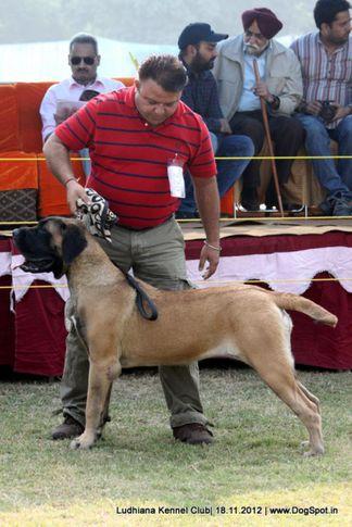 ex-220,mastiff english,sw-66,, GINGER, Mastiff- English, DogSpot.in