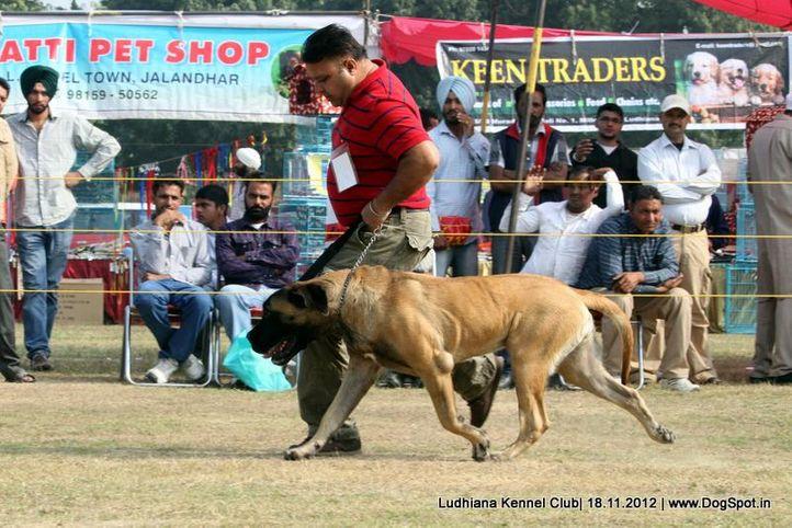 mastiff english,sw-66,, Ludhiana Dog Show 2012, DogSpot.in