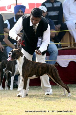boxer,ex-168,sw-66,, MELAN CHOLY, Boxer, DogSpot.in