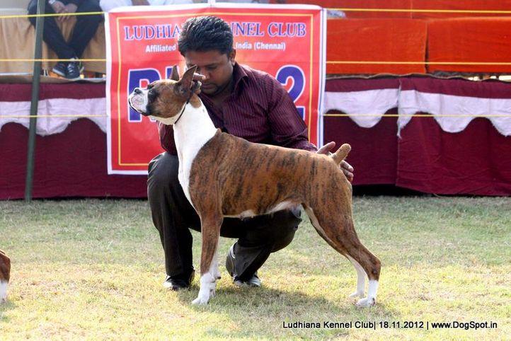 boxer,sw-66,, Ludhiana Dog Show 2012, DogSpot.in