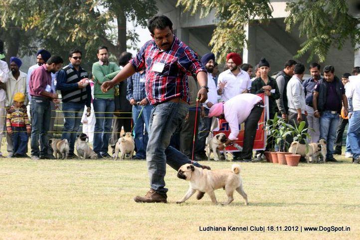 pug,sw-66,, Ludhiana Dog Show 2012, DogSpot.in