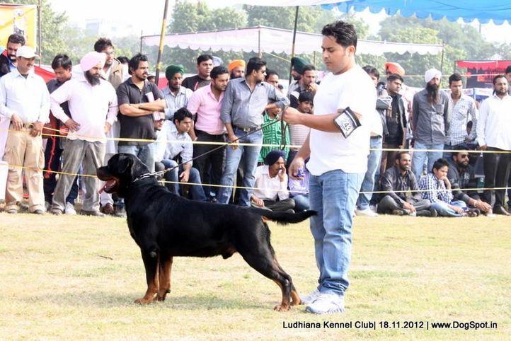 ex-243,rottweiler,sw-66,, UGO VON HAUS ENGEL, Rottweiler, DogSpot.in
