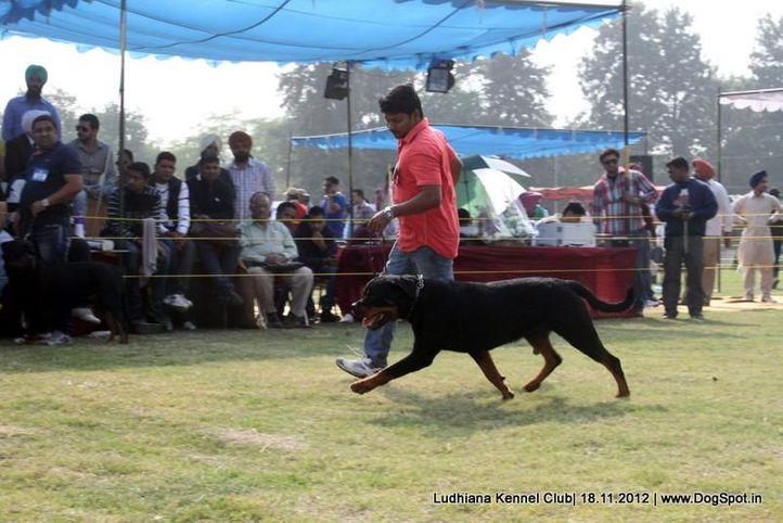 rottweiler,sw-66,, Ludhiana Dog Show 2012, DogSpot.in