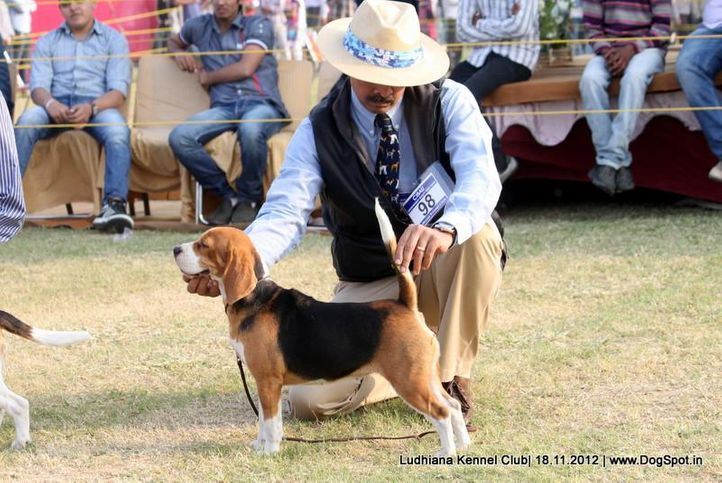 beagle,ex-98,sw-66,, SUPER GIRL OF RUBSON, Beagle, DogSpot.in