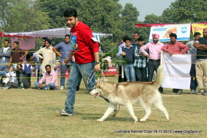 siberian husky,sw-66,, Ludhiana Dog Show 2012, DogSpot.in