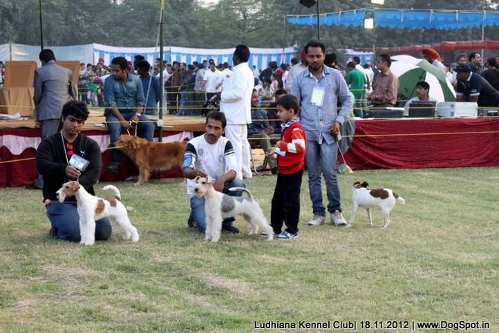 fox terrier,line up,sw-66,, Ludhiana Dog Show 2012, DogSpot.in
