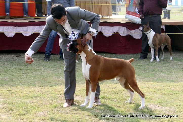 boxer,ex-178,sw-66,, EXPOUNDERS SILVER SURFER, Boxer, DogSpot.in